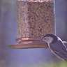 Sitta carolinensis on a Feeder